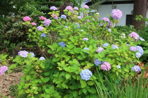 ~紫陽花が見頃、善光寺の朝 2021.7.4 (1)~_c0075701_08383316.jpg