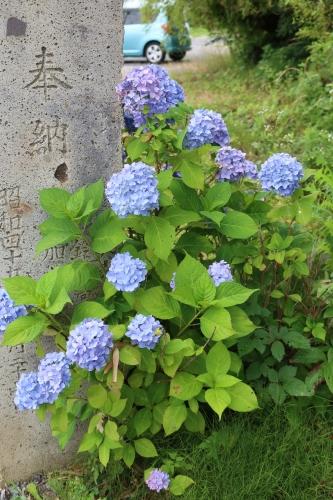 ~紫陽花が見頃、善光寺の朝 2021.7.4 (1)~_c0075701_08390393.jpg