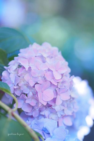 明月院の紫陽花_e0268051_18023621.jpg