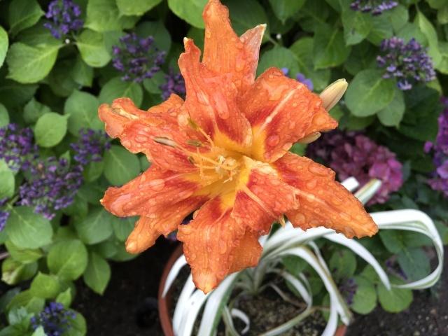 赤花のイチゴ_a0120264_16203572.jpeg