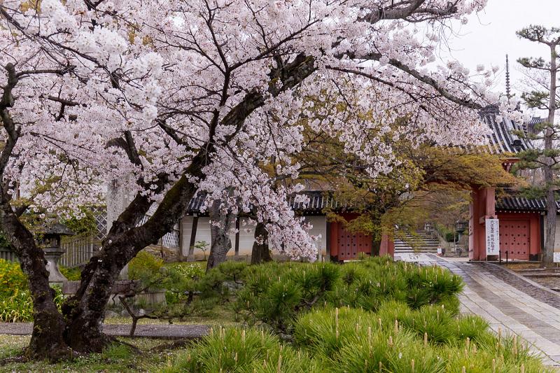 2021桜咲く京都  春雨の真如堂_f0155048_22472558.jpg