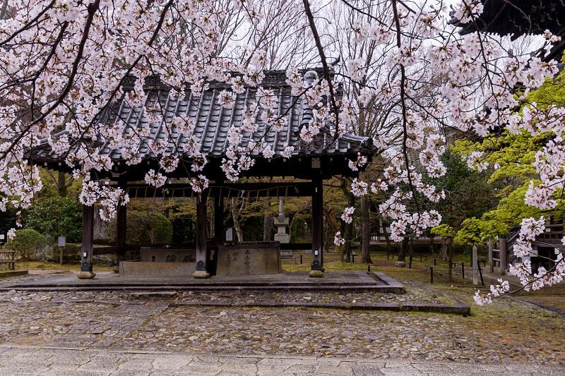 2021桜咲く京都  春雨の真如堂_f0155048_22482210.jpg
