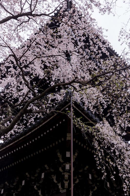 2021桜咲く京都  春雨の真如堂_f0155048_22483710.jpg