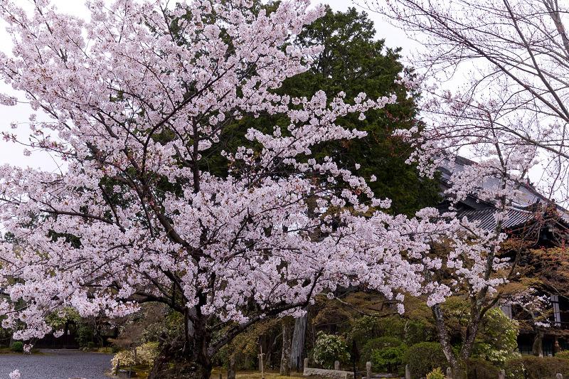 2021桜咲く京都  春雨の真如堂_f0155048_22492383.jpg