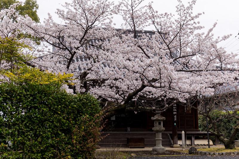 2021桜咲く京都  春雨の真如堂_f0155048_22492977.jpg
