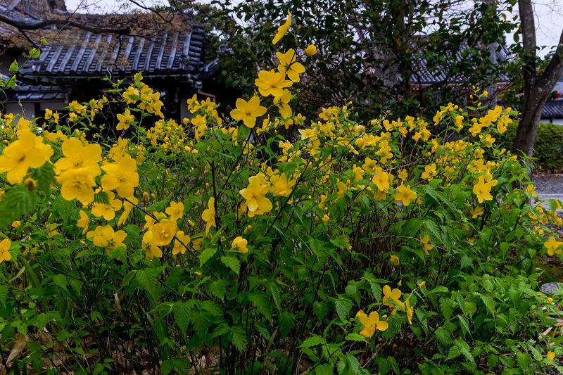 2021桜咲く京都  春雨の真如堂_f0155048_22495845.jpg