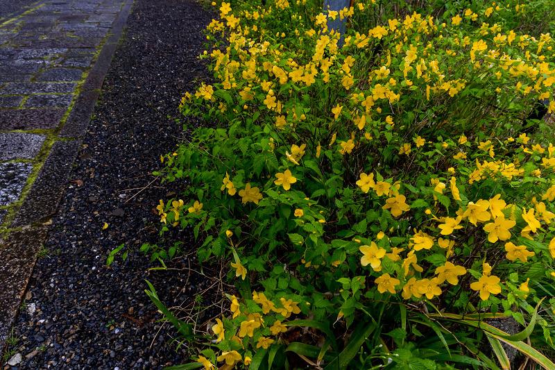 2021桜咲く京都  春雨の真如堂_f0155048_22512900.jpg