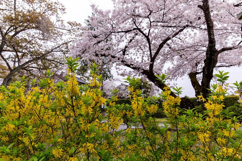 2021桜咲く京都  春雨の真如堂_f0155048_22515454.jpg