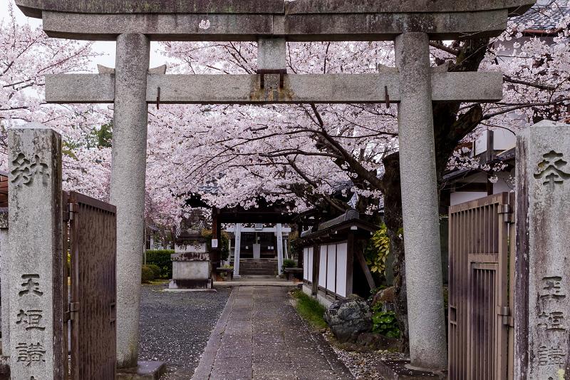 2021桜咲く京都  春雨の真如堂_f0155048_22520432.jpg