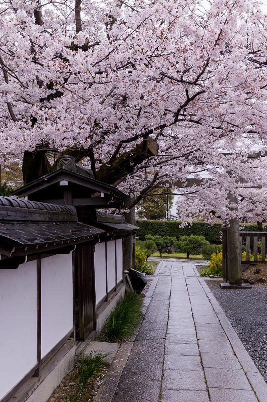 2021桜咲く京都  春雨の真如堂_f0155048_22522858.jpg
