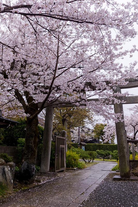 2021桜咲く京都  春雨の真如堂_f0155048_22523542.jpg