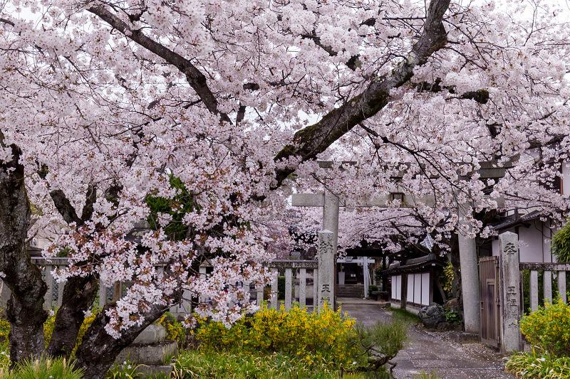 2021桜咲く京都  春雨の真如堂_f0155048_22524346.jpg
