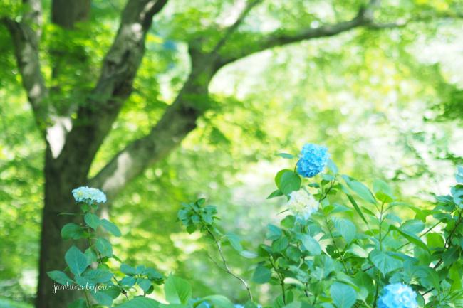 明月院の紫陽花_e0268051_11305494.jpg