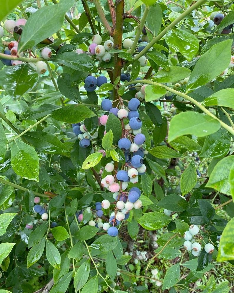 ブルーベリー初収穫&辺りの風景_c0334574_19101259.jpeg