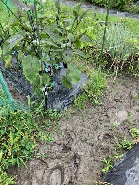雨上がりの畑_f0204295_14521697.jpg
