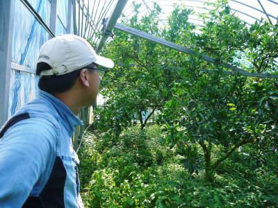究極の柑橘『せとか』 令和3年度の収穫に向け、着果後の成長の様子を現地取材 してきました!_a0254656_19303838.jpg