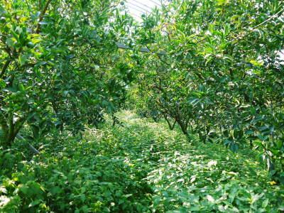 究極の柑橘『せとか』 令和3年度の収穫に向け、着果後の成長の様子を現地取材 してきました!_a0254656_19325483.jpg