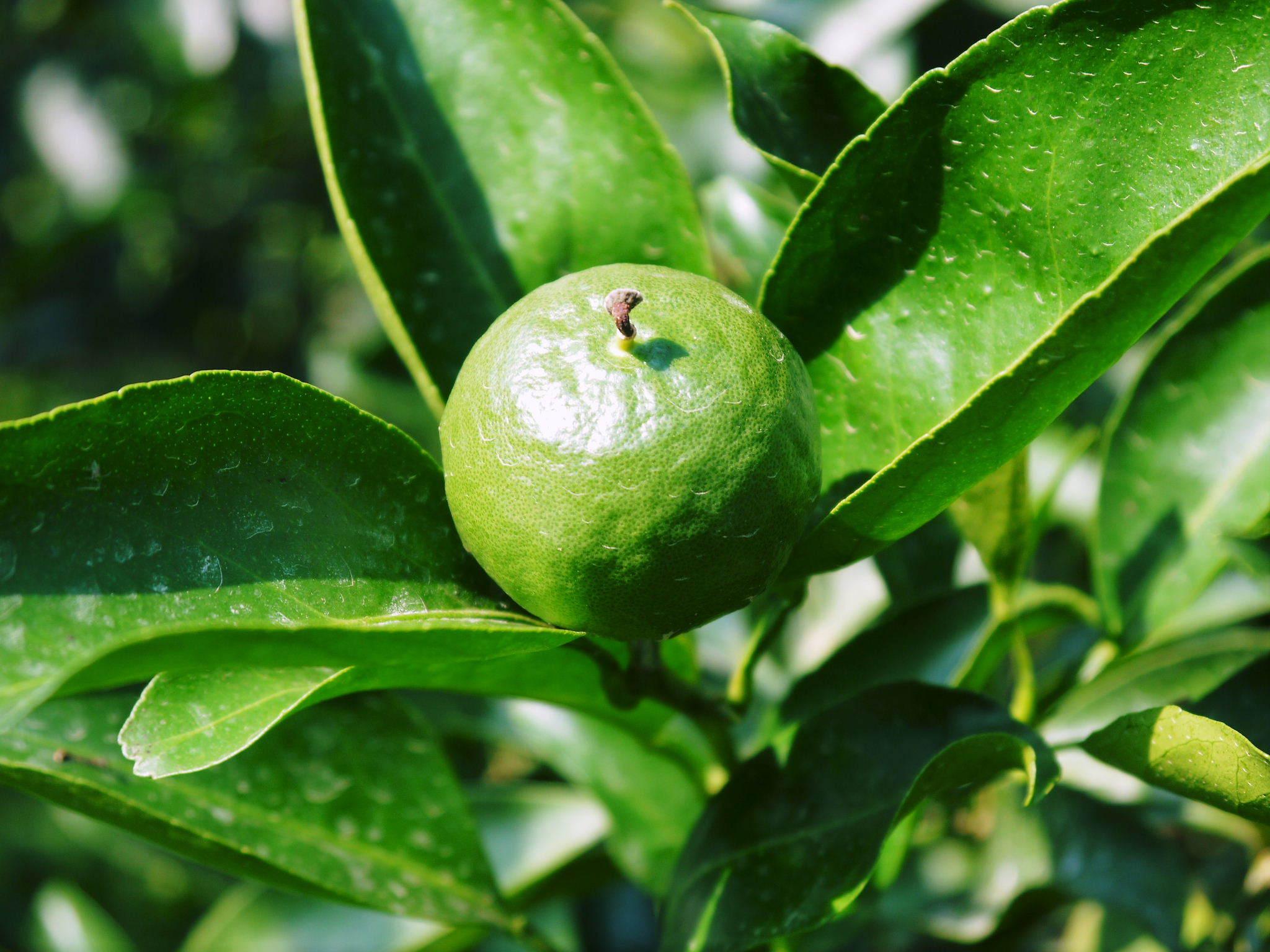 究極の柑橘『せとか』 令和3年度の収穫に向け、着果後の成長の様子を現地取材 してきました!_a0254656_19332012.jpg