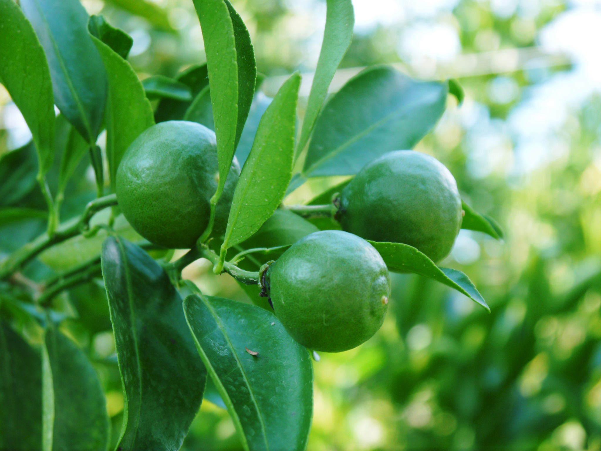 究極の柑橘『せとか』 令和3年度の収穫に向け、着果後の成長の様子を現地取材 してきました!_a0254656_19363770.jpg