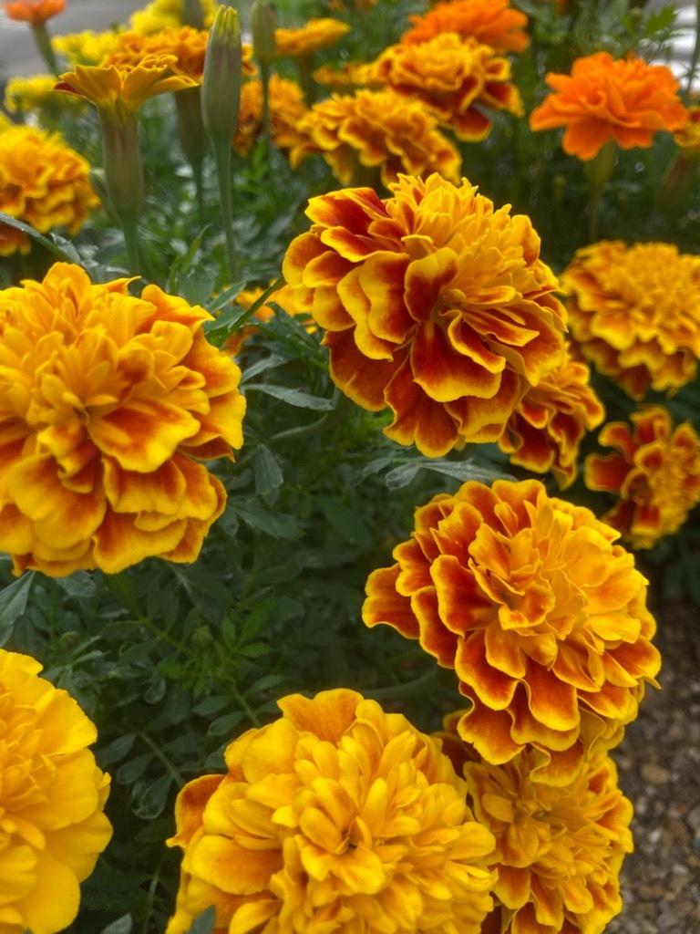 夏の花_f0204295_15595102.jpg