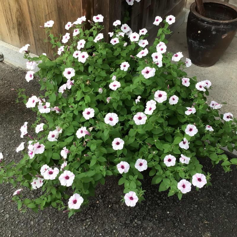 挿し木用に紫陽花を切った事と今日の音_c0404712_23144481.jpg