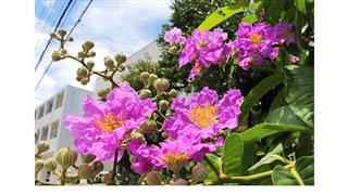 チェンマイの街や野を彩る花々とそのエピソード(第11回)_d0159325_17114123.png