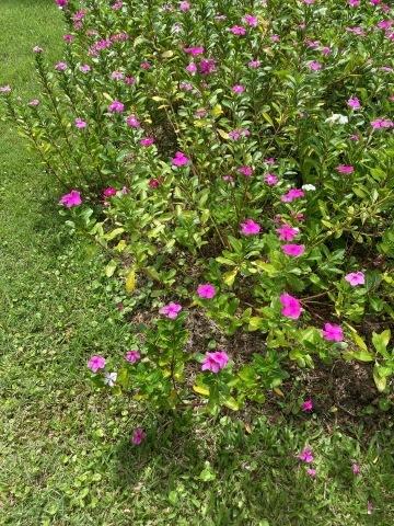 チェンマイの街や野を彩る花々とそのエピソード(第12回)_d0159325_17342239.jpg