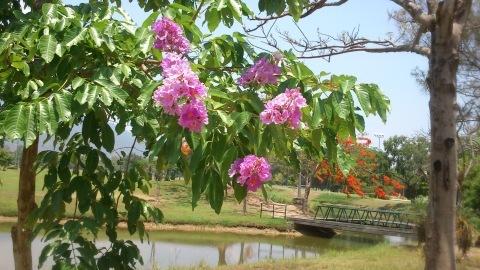 チェンマイの街や野を彩る花々とそのエピソード(第12回)_d0159325_17354918.jpg