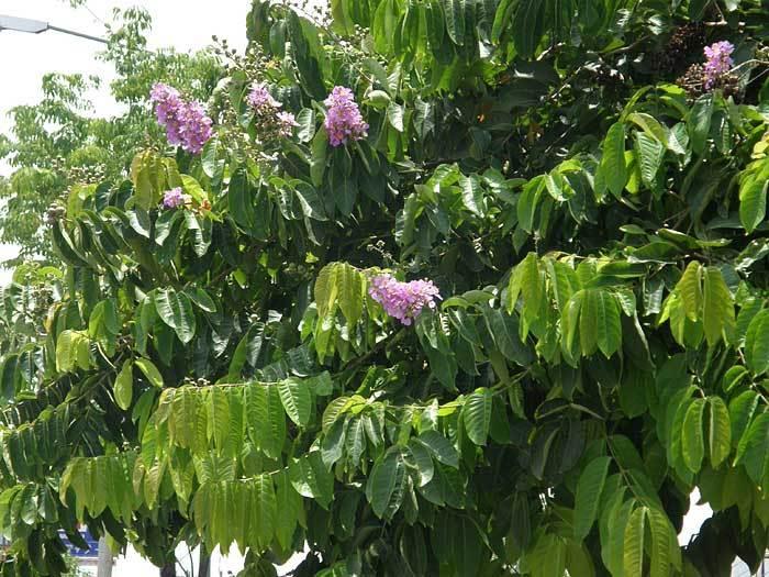 チェンマイの街や野を彩る花々とそのエピソード(第11回)_d0159325_18065903.jpg