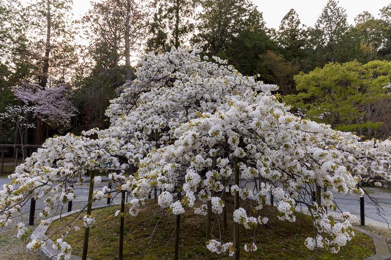 2021桜咲く京都 千眼桜咲く(大原野神社)_f0155048_20334993.jpg