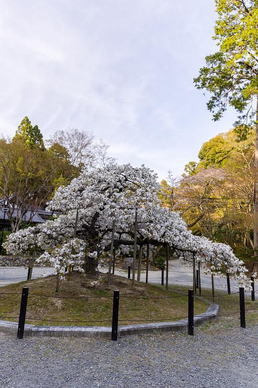 2021桜咲く京都 千眼桜咲く(大原野神社)_f0155048_20340350.jpg