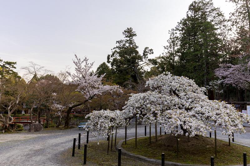 2021桜咲く京都 千眼桜咲く(大原野神社)_f0155048_20361973.jpg