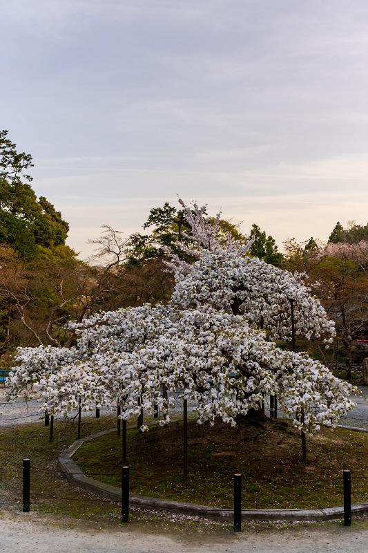 2021桜咲く京都 千眼桜咲く(大原野神社)_f0155048_20362413.jpg