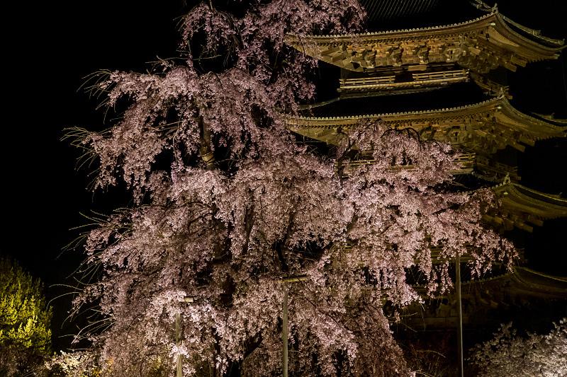 2021桜咲く京都 教王護国寺ライトアップ(東寺)_f0155048_20362814.jpg