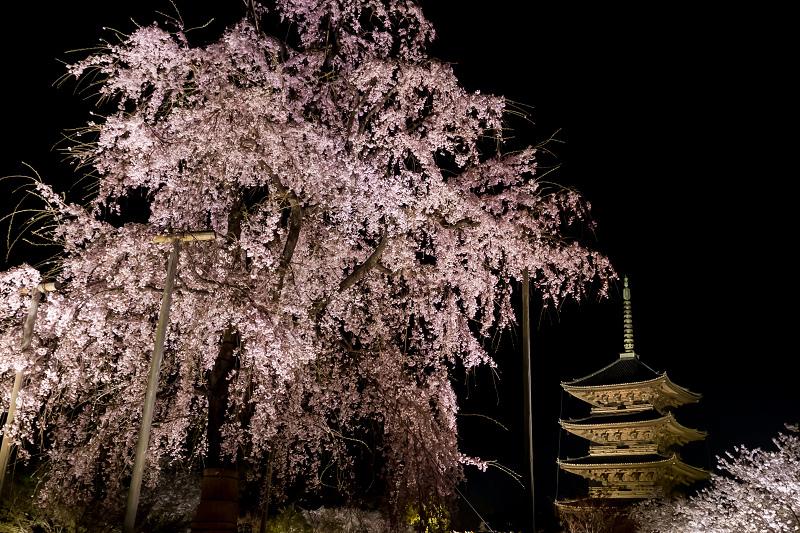 2021桜咲く京都 教王護国寺ライトアップ(東寺)_f0155048_20364928.jpg