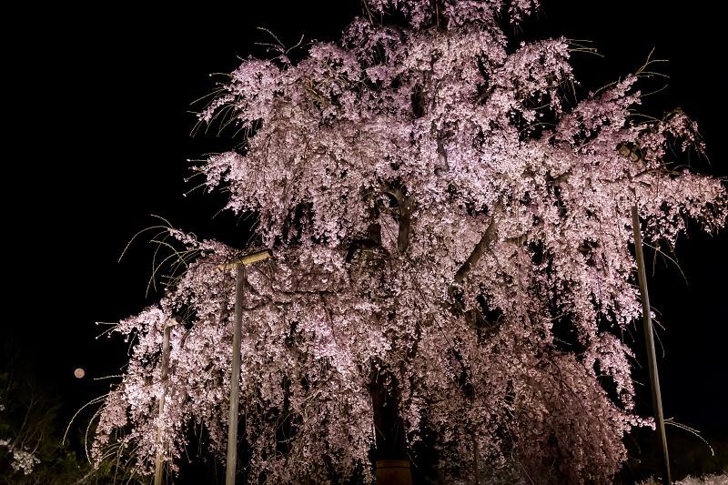 2021桜咲く京都 教王護国寺ライトアップ(東寺)_f0155048_20381241.jpg