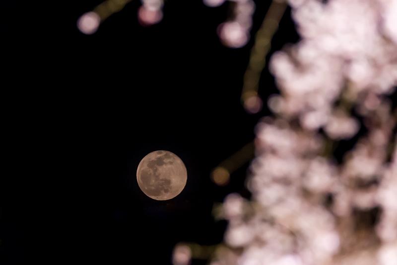 2021桜咲く京都 教王護国寺ライトアップ(東寺)_f0155048_20382021.jpg