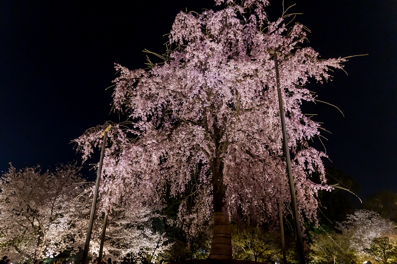 2021桜咲く京都 教王護国寺ライトアップ(東寺)_f0155048_20384443.jpg