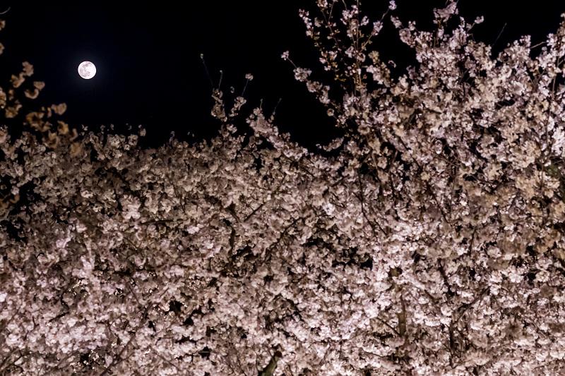 2021桜咲く京都 教王護国寺ライトアップ(東寺)_f0155048_20434565.jpg