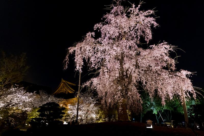 2021桜咲く京都 教王護国寺ライトアップ(東寺)_f0155048_20441174.jpg