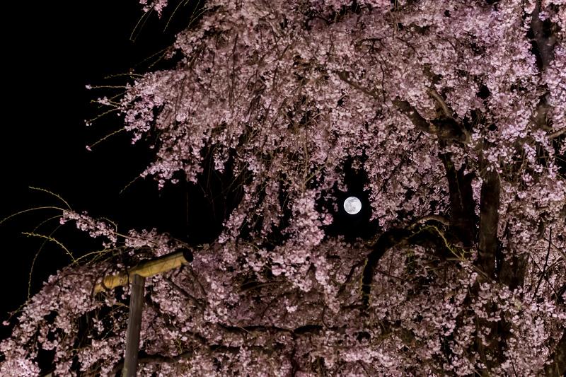 2021桜咲く京都 教王護国寺ライトアップ(東寺)_f0155048_20444742.jpg