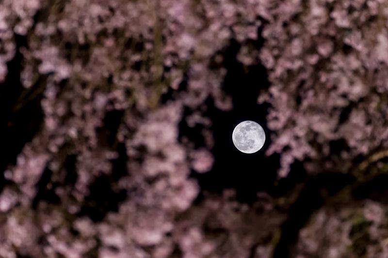 2021桜咲く京都 教王護国寺ライトアップ(東寺)_f0155048_20445921.jpg