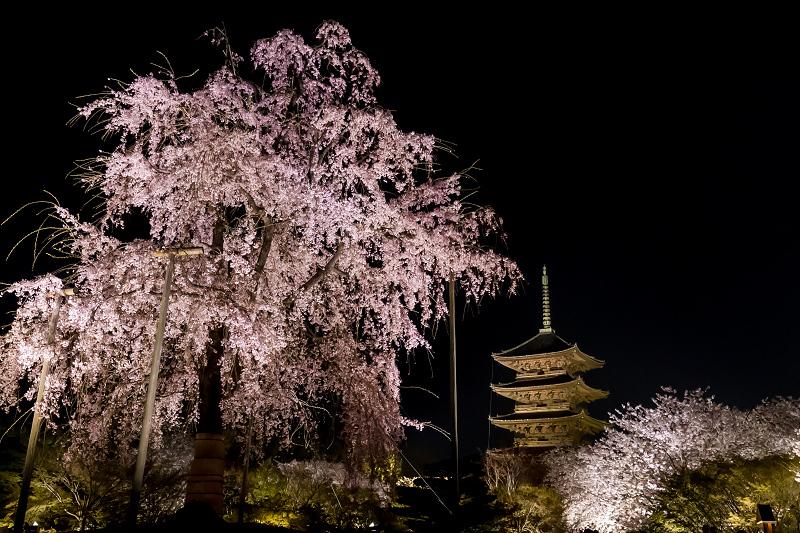 2021桜咲く京都 教王護国寺ライトアップ(東寺)_f0155048_20463663.jpg