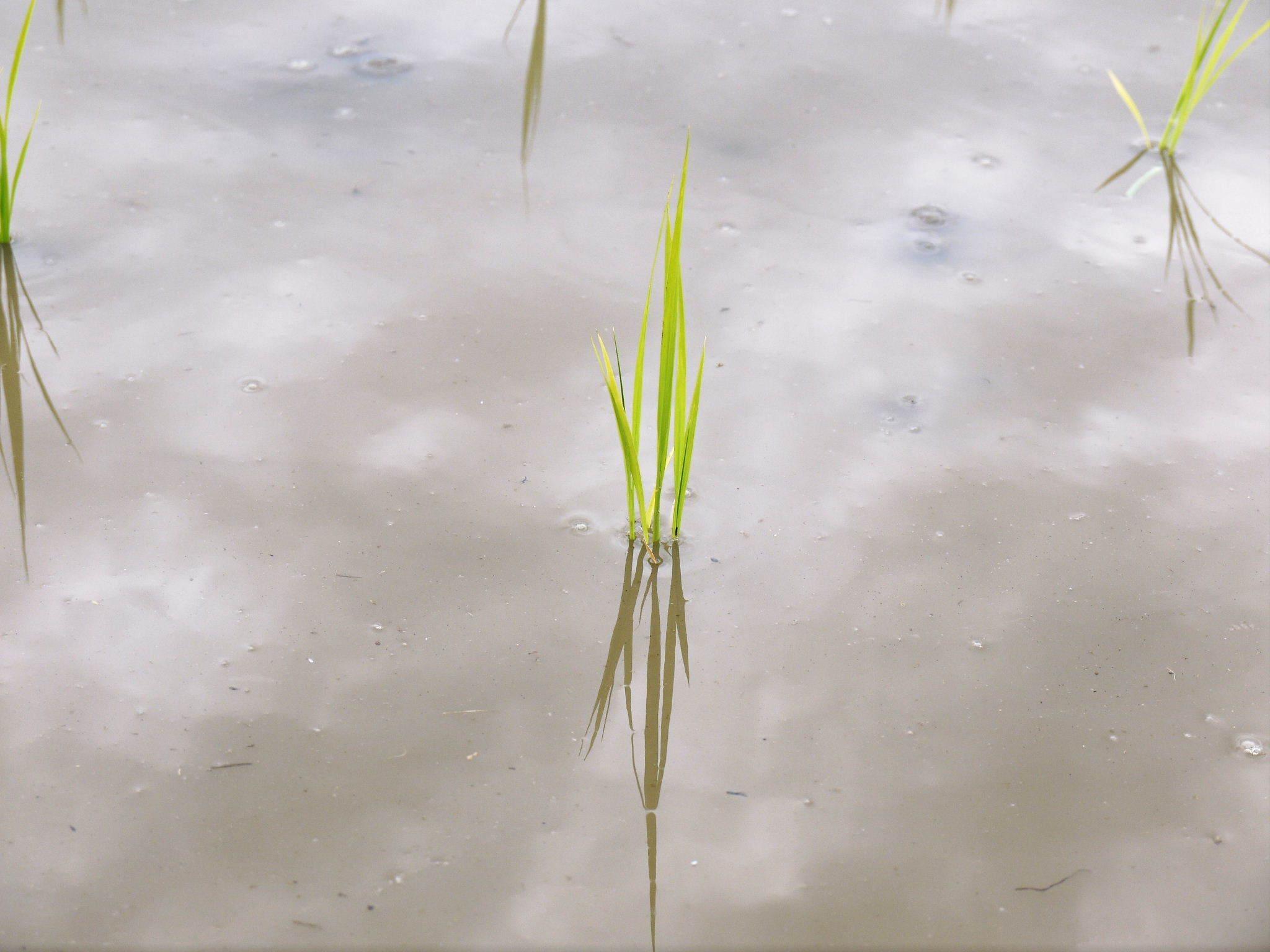 無農薬栽培の『米粉』『雑穀米』『発芽玄米』大好評販売中!令和3年度の田植えの様子を現地取材!(前編)_a0254656_17525904.jpg
