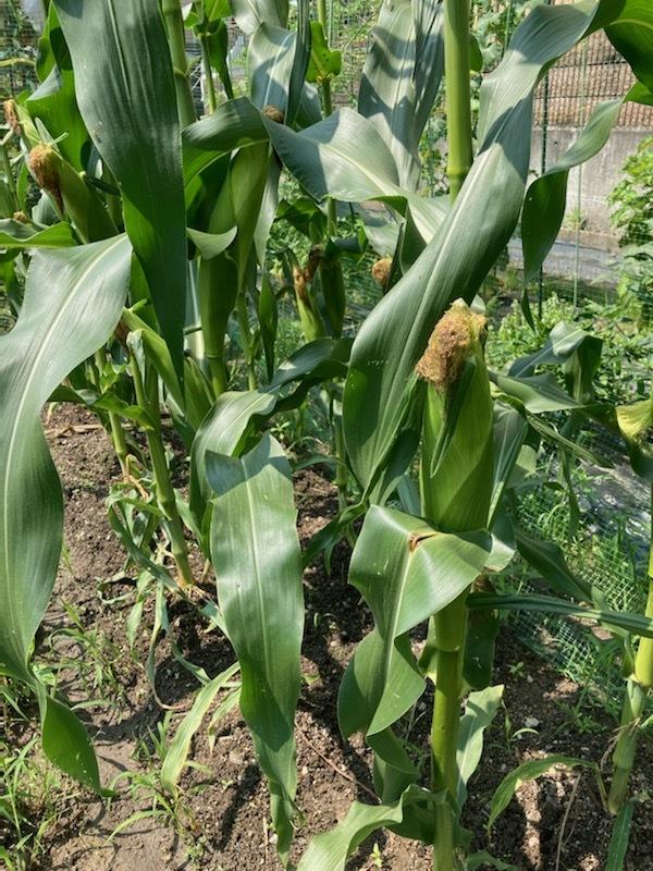 トウモロコシちょっと収穫_f0204295_14034151.jpg