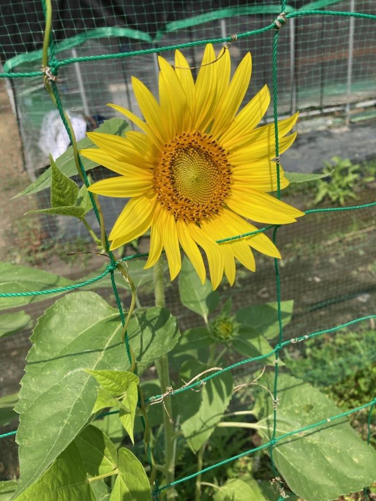 トウモロコシちょっと収穫_f0204295_14062385.jpg