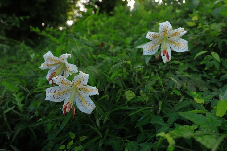 夏の花(10) ~ヤマユリ~ (2021/7/10撮影)_b0369971_17013248.jpg