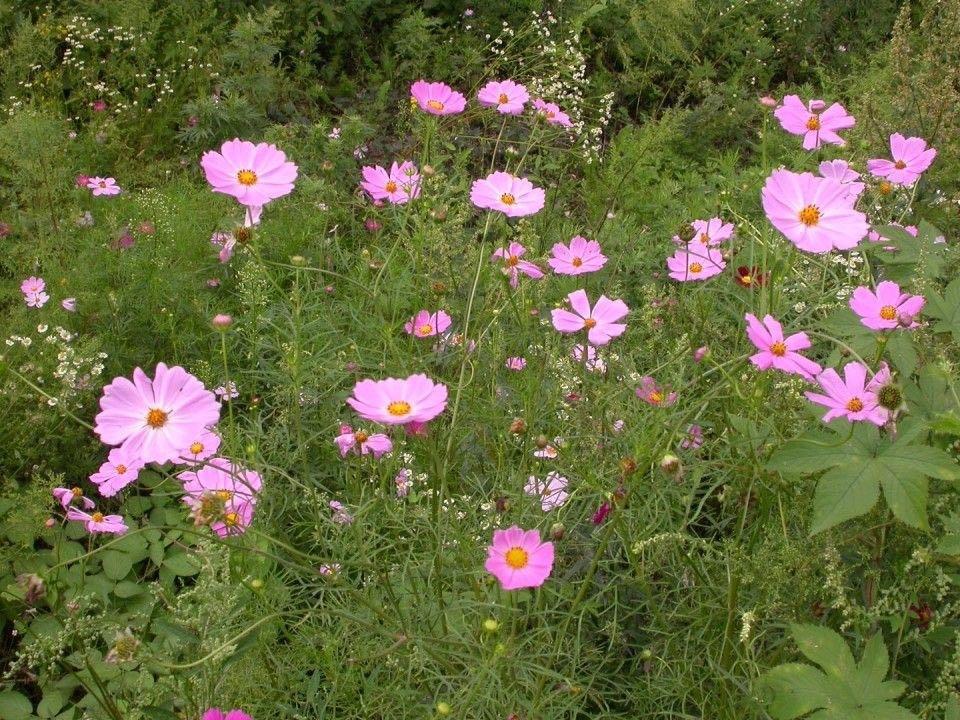 チェンマイの街や野を彩る花々とそのエピソード(第12回)_d0159325_19511450.jpg