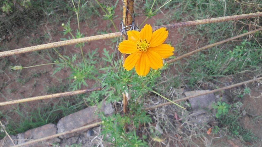 チェンマイの街や野を彩る花々とそのエピソード(第12回)_d0159325_19511929.jpg