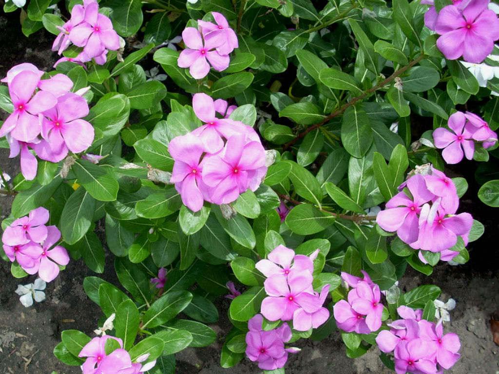 チェンマイの街や野を彩る花々とそのエピソード(第12回)_d0159325_19561151.jpg